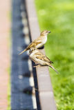 Young curious sparrows Stock Photos