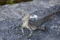 Young and curious water dragon Stock Image
