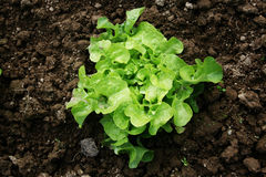 Young Curled Lettuce Stock Images