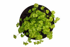 Young, curly, parsley bush. Object on a white background Stock Photo