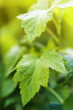 Young currant leaves close-up on a green background Stock Photos