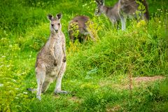 Young and cute baby kangaroo looking at the photographer stock image