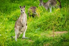 Young and cute baby kangaroo looking at the photographer royalty free stock photography