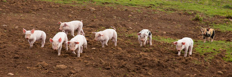 Young cute baby piglets running to camera including a spotted pig with black spots panoramic view Royalty Free Stock Image