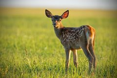 Young cute baby red deer, cervus elaphus, fawn in warm sunset light. Portrait of young cub from nature. Natural scenery with pretty animal royalty free stock photography