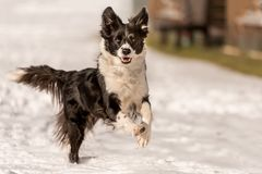 Border collie dog in snowy winter. Dog running and having fun in the snow stock images
