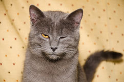 Young cute british cat winks Royalty Free Stock Photography