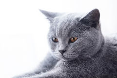 Young cute cat close-up portrait. Royalty Free Stock Photos