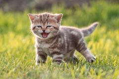 Young cute cat meowing in grass. Funny cute cat meowing in green grass outdoor Stock Photos