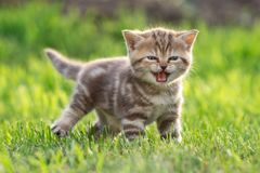 Young cute cat meowing outdoor Stock Photography