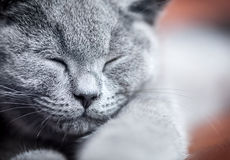 Young cute cat portrait close-up. The British Shorthair kitten with blue gray fur Royalty Free Stock Image