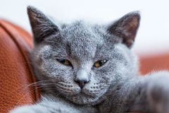 Young cute cat portrait close-up. The British Shorthair kitten with blue gray fur Stock Images