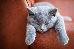 Young cute cat resting on leather sofa. The British Shorthair kitten with blue gray fur Royalty Free Stock Photo