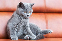 Young cute cat resting on leather sofa. The British Shorthair kitten with blue gray fur Royalty Free Stock Image