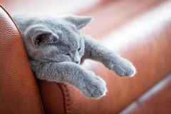 Young cute cat resting on leather sofa. The British Shorthair kitten with blue gray fur Stock Image