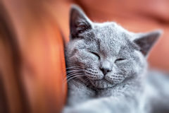 Young cute cat resting on leather sofa. The British Shorthair kitten with blue gray fur Royalty Free Stock Images
