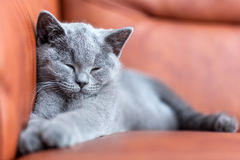 Young cute cat resting on leather sofa. The British Shorthair kitten with blue gray fur. Young cute cat resting on leather sofa. The British Shorthair pedigreed Stock Photo