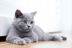 Young Cute Cat Resting On Wooden Floor. Stock Photo