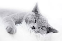 Young cute cat resting on white fur Stock Photos