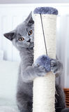 Young cute cat scratching his claws on a scratcher. Royalty Free Stock Image