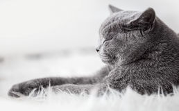 Young cute cat sleeping on cosy white fur. The British Shorthair Royalty Free Stock Photography