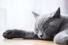 Young cute cat sleeping on wooden floor. The British Shorthair Stock Photos