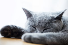 Young cute cat sleeping on wooden floor. The British Shorthair Stock Photography