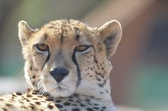 A young cute Cheetah portrait during a safari in a game reserve in South Africa stock photography
