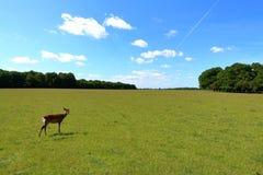 Young cute deer. In Jaegersborg Dyrehave Deer Park near Copenhagen, Denmark royalty free stock photo