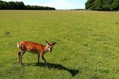 Young cute deer Stock Photos
