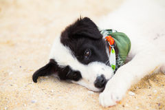 Young cute dog lying on the beach Stock Image