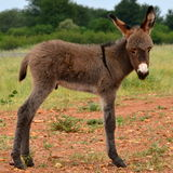 Young donkey Stock Image