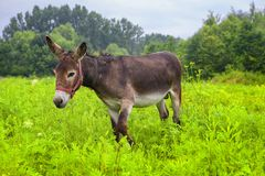 Young cute donkey. On the green meadow Royalty Free Stock Image