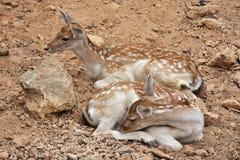 Young cute fallow deer. Island Crete Greece stock photography