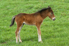 Young cute foal outdoor pasturing on green grass, full length portrait.  Royalty Free Stock Photo