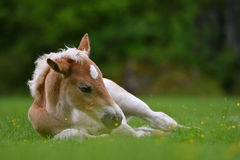 Young cute foal outdoor. Resting in the grass Royalty Free Stock Images
