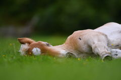Young cute foal outdoor. Resting in the grass Royalty Free Stock Photos