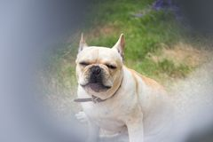 Young cute french bulldog animal Stock Photography