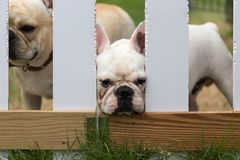 Young cute french bulldog animal Royalty Free Stock Images