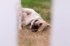 Young cute french bulldog animal Stock Image