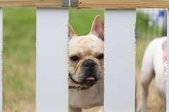 Young cute french bulldog animal Royalty Free Stock Photos