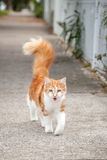 Young Cute Ginger and White Tabby Cat on the Footpath Royalty Free Stock Photography