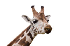Young cute giraffe. Close up portrait of young cute giraffe isolated on white, Giraffa camelopardalis reticulata Stock Images