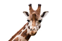 Young cute giraffe. Close up portrait of young cute giraffe isolated on white, Giraffa camelopardalis reticulata Royalty Free Stock Photography