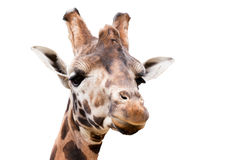 Young cute giraffe. Close up portrait of young cute giraffe isolated on white, Giraffa camelopardalis reticulata Royalty Free Stock Images