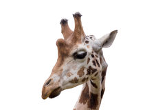 Young cute giraffe. Close up portrait of young cute giraffe isolated on white, Giraffa camelopardalis reticulata Stock Photography