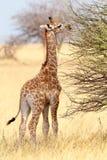 Young cute giraffe in Etosha national Park. Small young grazing cute giraffe in Etosha national Park, Ombika, Kunene, Namibia, true wildlife photography Royalty Free Stock Images