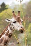 Young cute giraffe grazing. Close of young cute giraffe grazing on tree, Giraffa camelopardalis reticulata Royalty Free Stock Photos