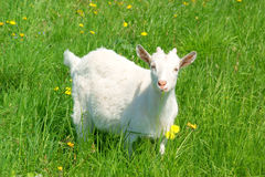 Young cute goat on grass Stock Photo