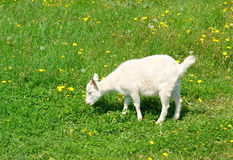 Young cute goat on grass Stock Photography
